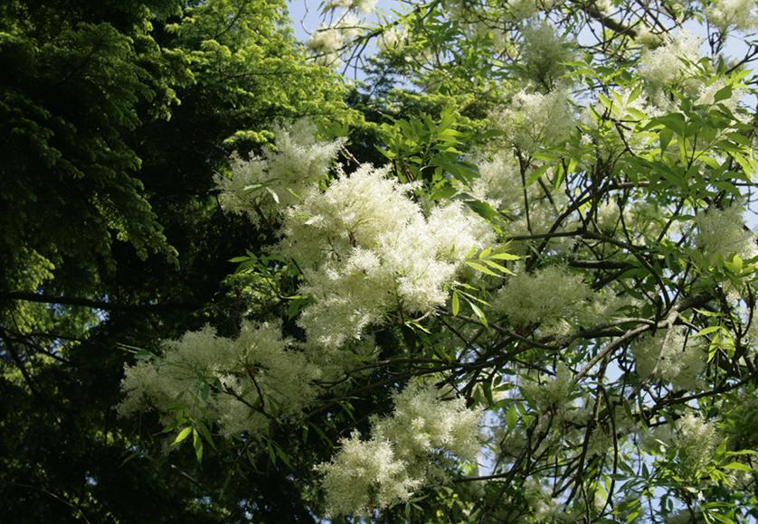 Fraxinus ornus © wikipedia.png