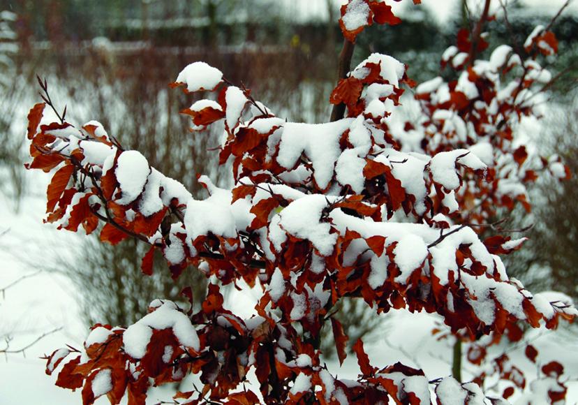 auch winterharte b ume brauchen schutz vor frost aber. Black Bedroom Furniture Sets. Home Design Ideas