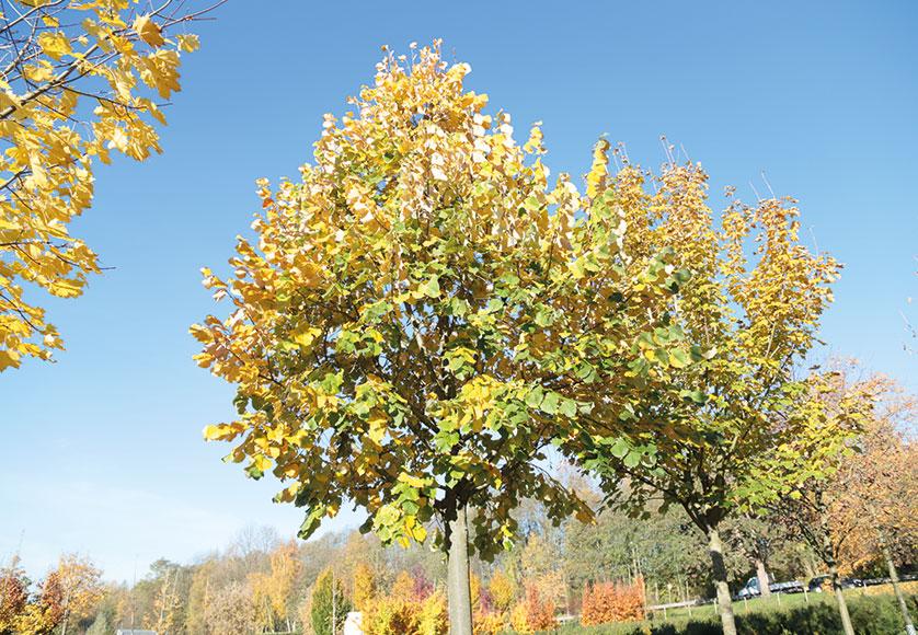 Die Beliebtesten Heimischen Baume Von Ahorn Bis Eibe Leonhards