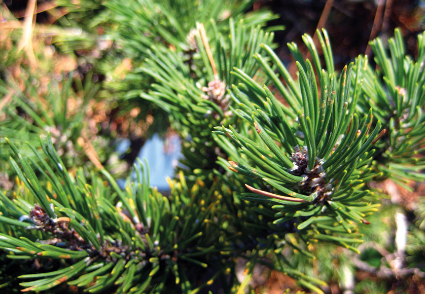 Pinus-Mugo-©Flickr, Bri Weldon.png