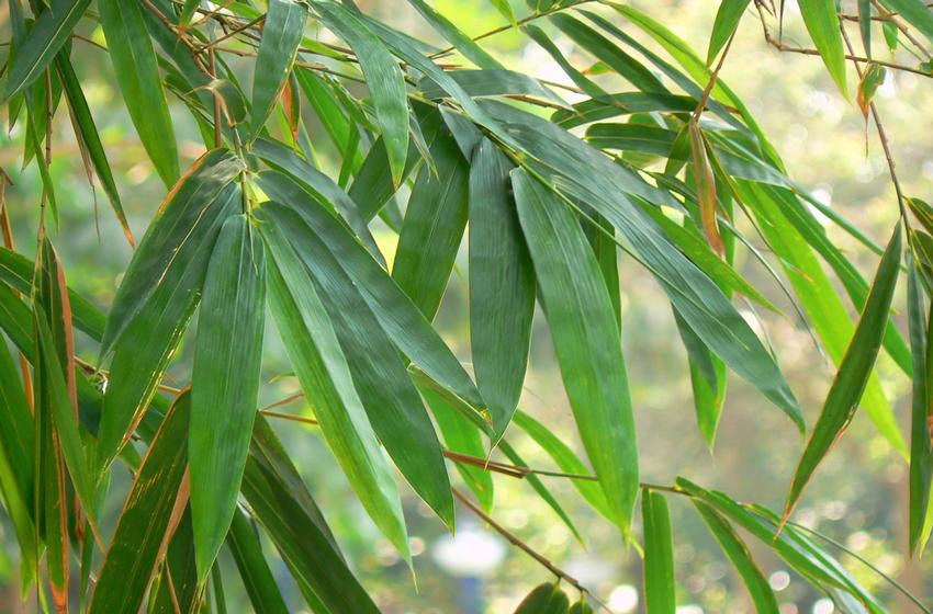 Indoor Bambus Pflanzen Perfekter Sichtschutz Und Blickfang Leonhards